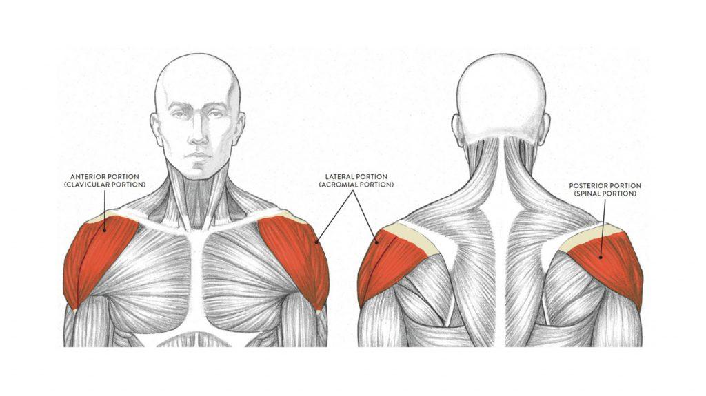 anatomy of deltoid muscle